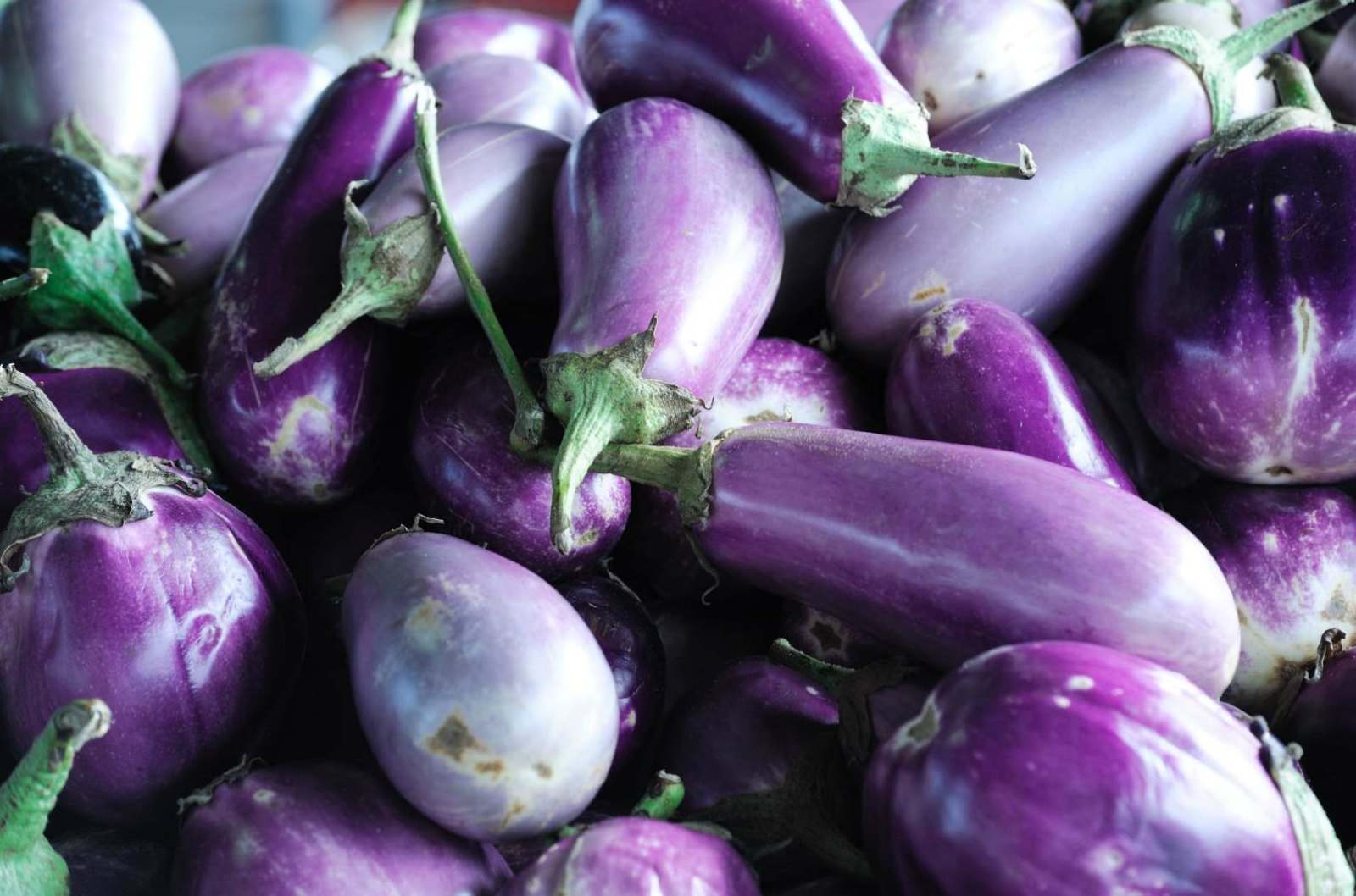 Bioengineered, Insect-Resistant Variety of Eggplant Developed