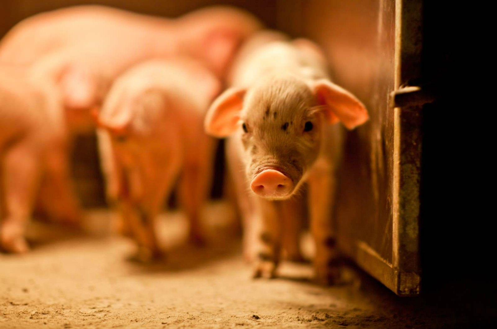 New Oral Vaccine Will Improves Health of Swine Herds Worldwide