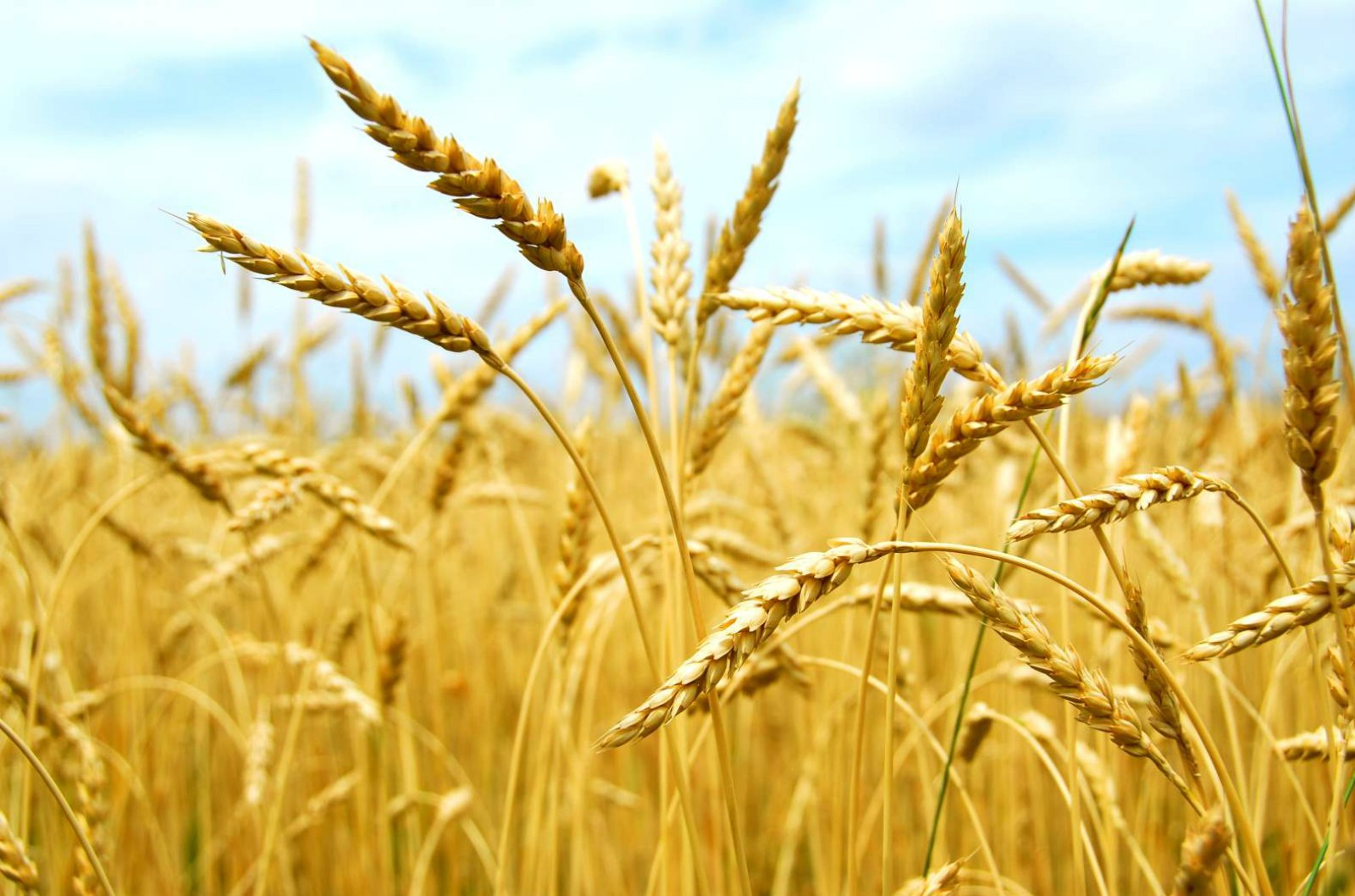 For Amber Waves of Grain: High-Yield Wheat Stretches Around the World