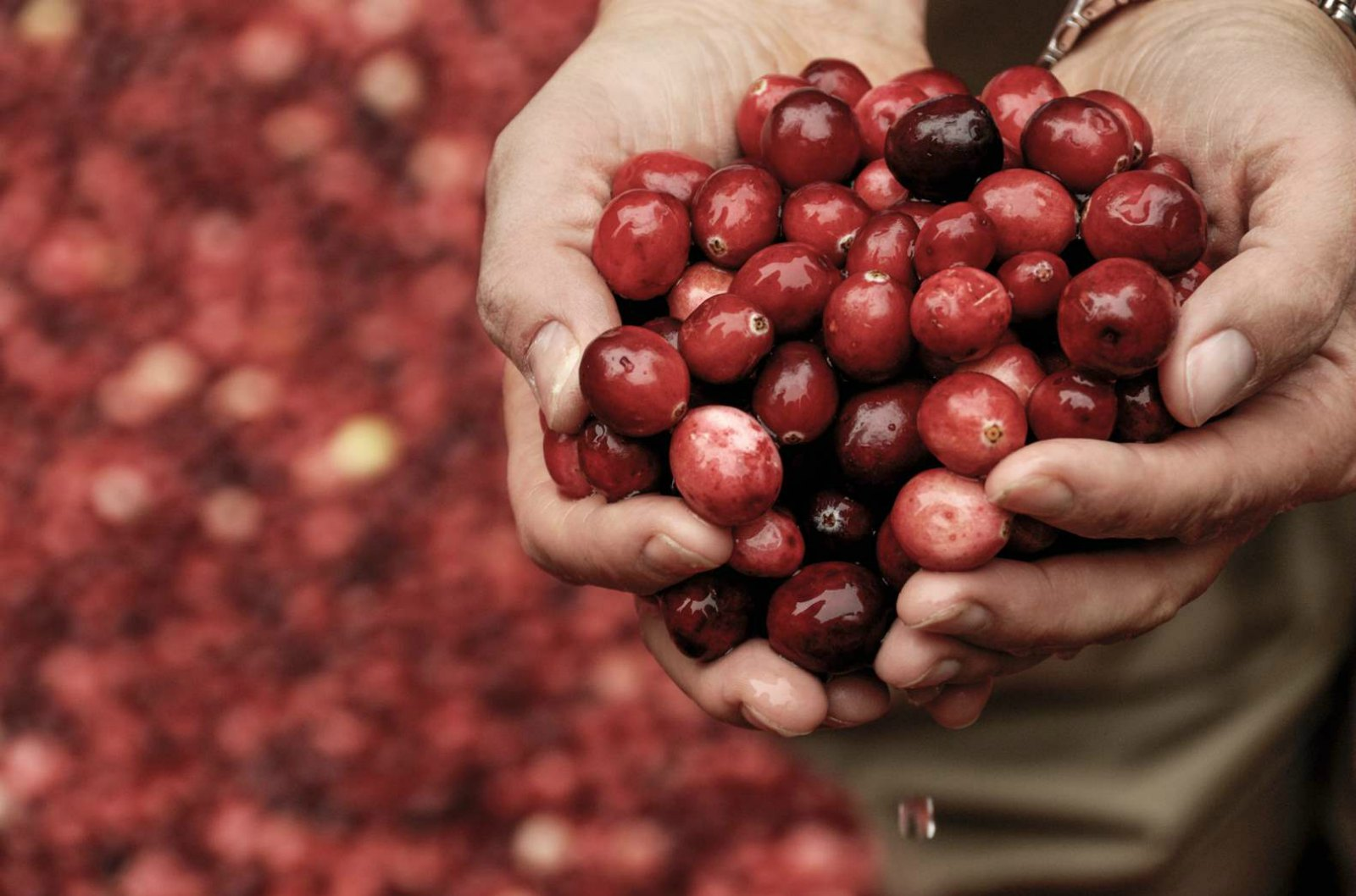 HyRed Gives Cranberry Growers a Competitive Edge