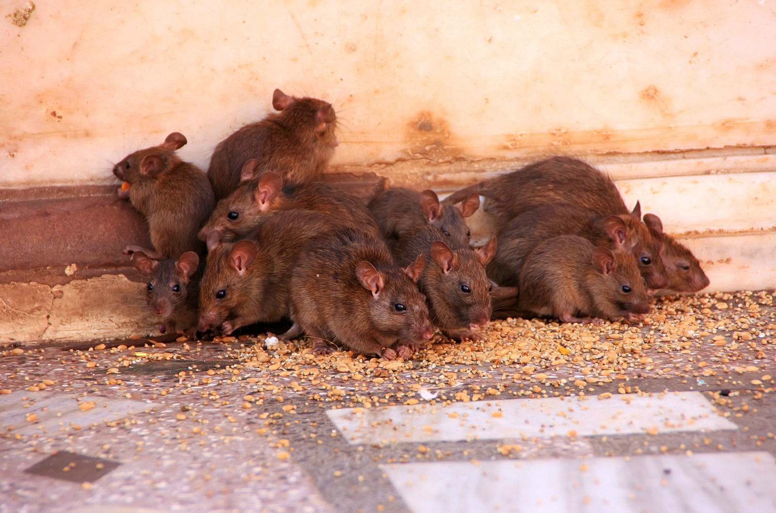 Reducing Rat Populations Through Non-lethal Pest Control