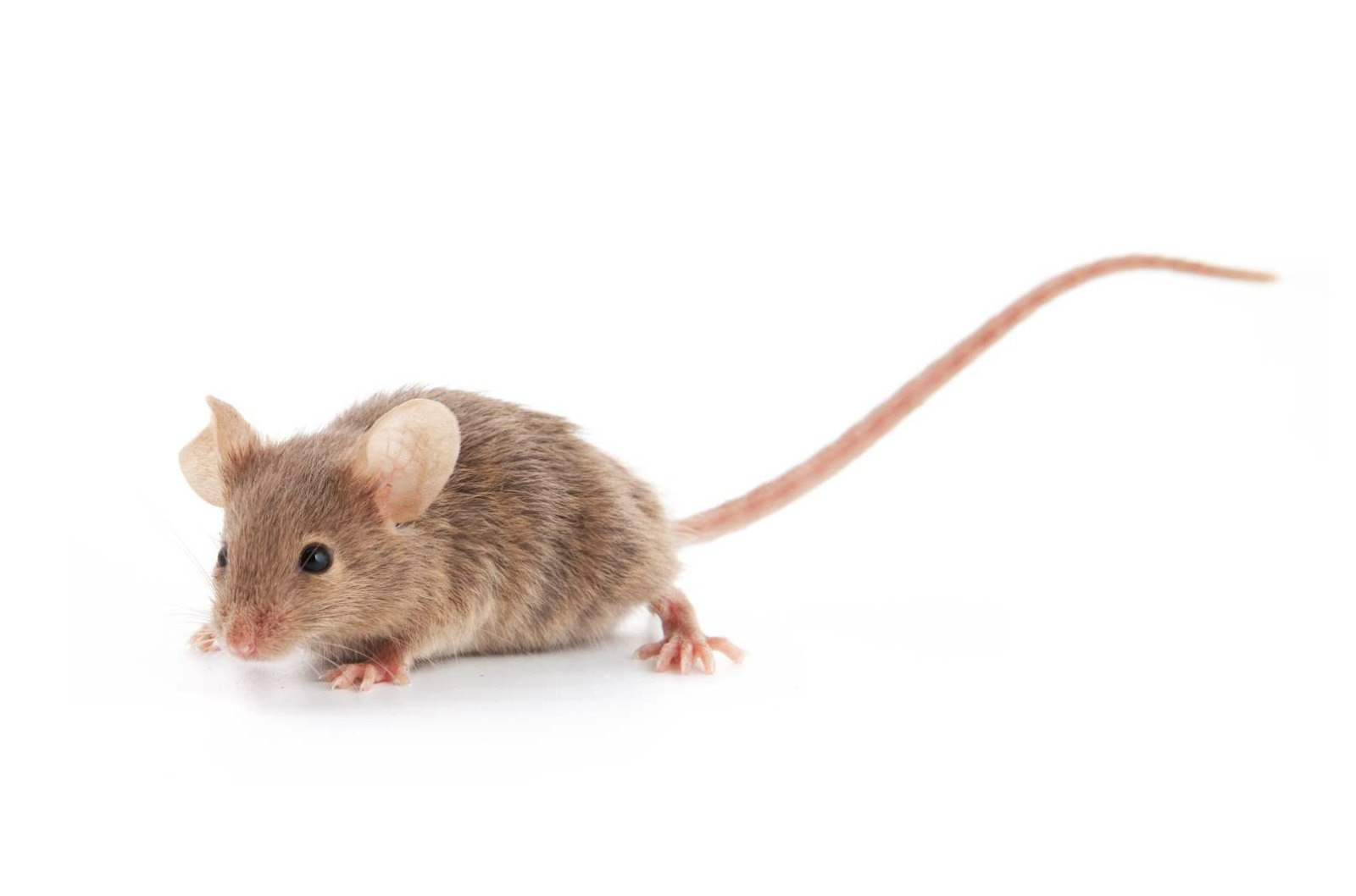 Of Mice and Women: Chemically Altered Rodents Help Researchers Study Diseases in Postmenopausal Women